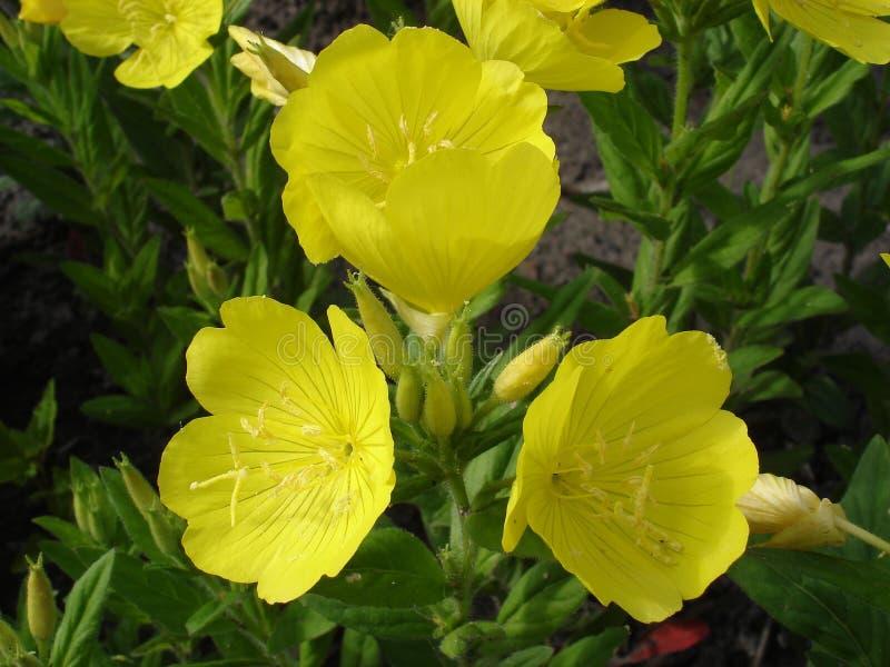 Vier-Blatt suncups (Nachtkerze) färben Blumen gelb stockbild