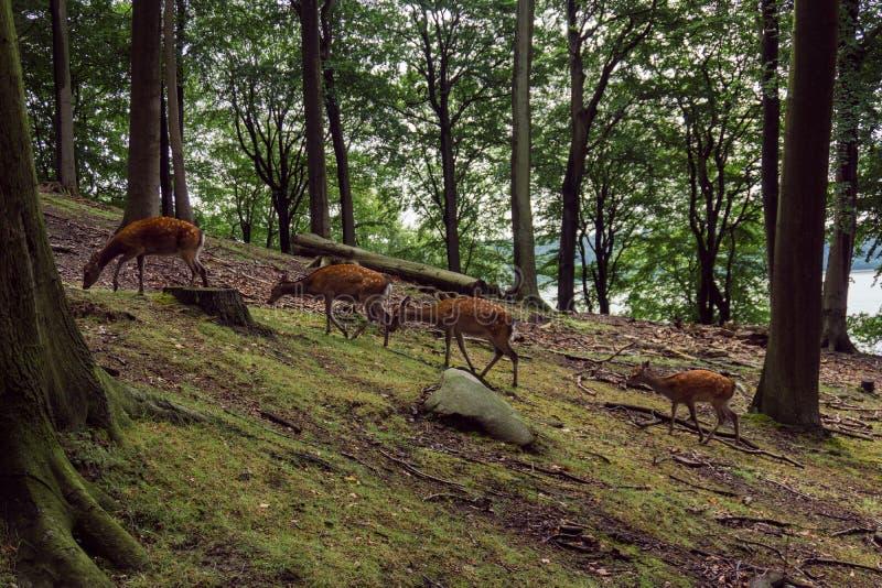 Vier deers op een rij stock afbeelding