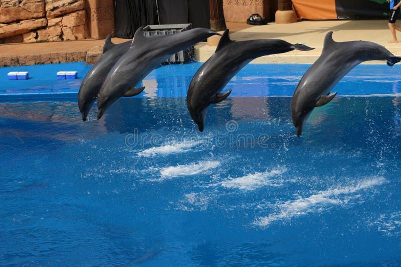 Vier Delphine, die in ein Pool springen lizenzfreie stockfotografie
