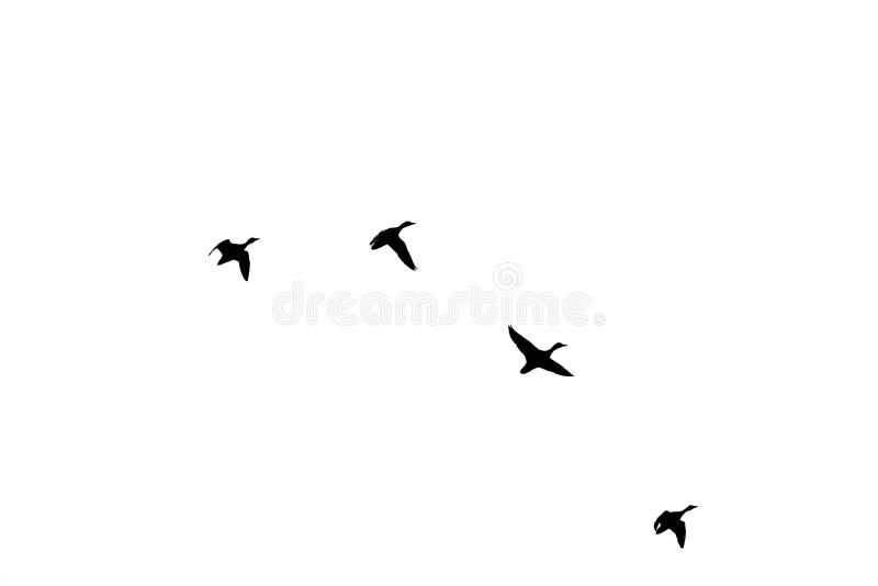 Vier Enten, die in eine Bildung fliegen stock abbildung