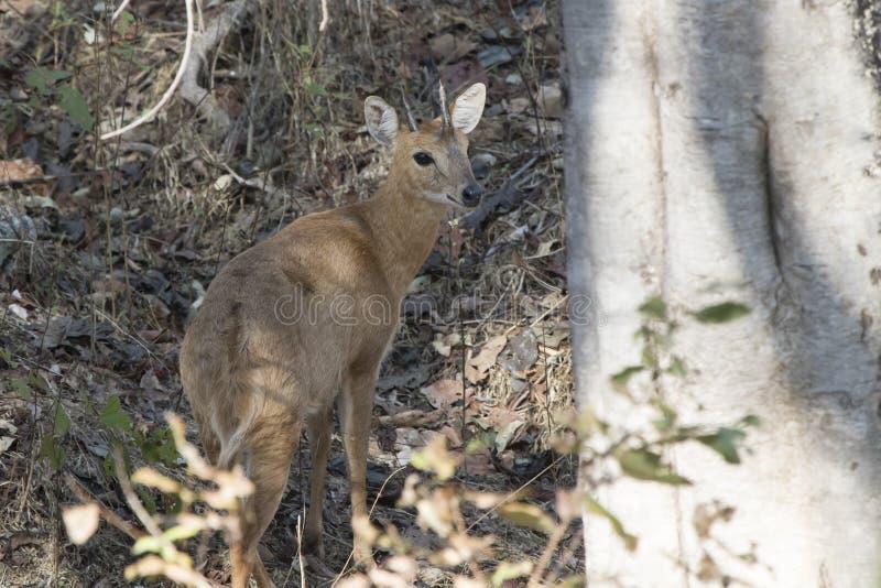 Vier-gehoornde antilope die zich in de schaduw onder de bomen in Th bevinden stock fotografie