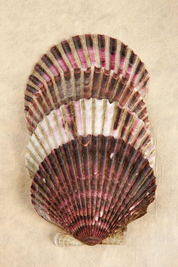 Vier gestapelde kammosselshells stock afbeelding