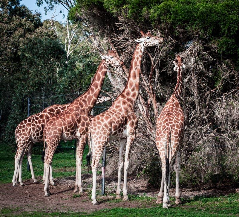 Vier Giraffen die op Acaciaboom voeden stock afbeelding