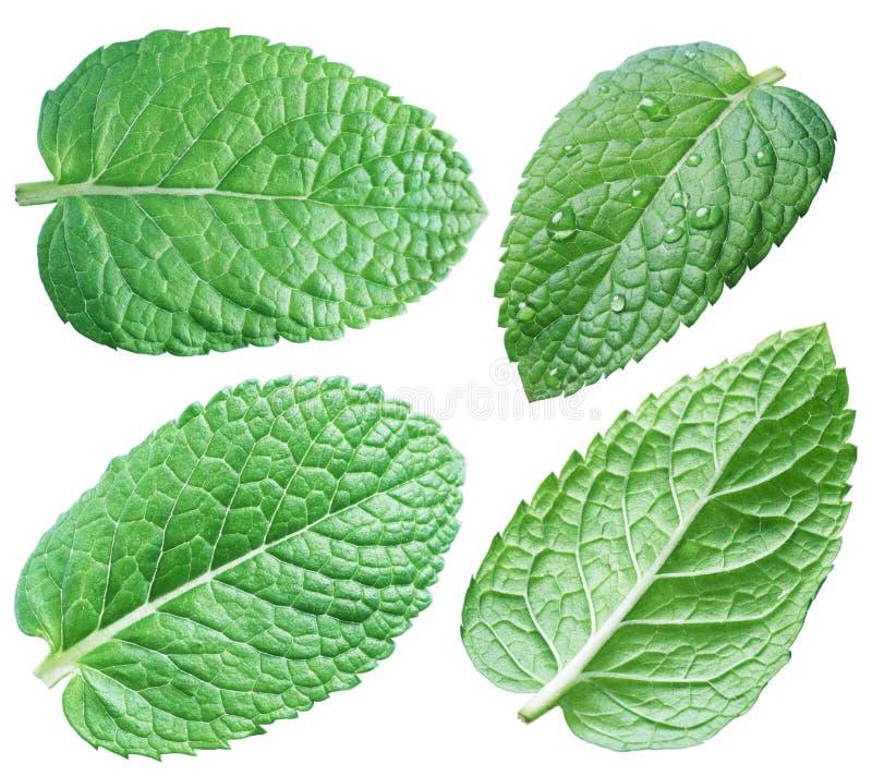 Vier groene muntbladeren of muntbladeren inzameling Knippende weg stock afbeeldingen