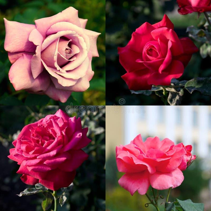 Vier grote roze rozen stock fotografie