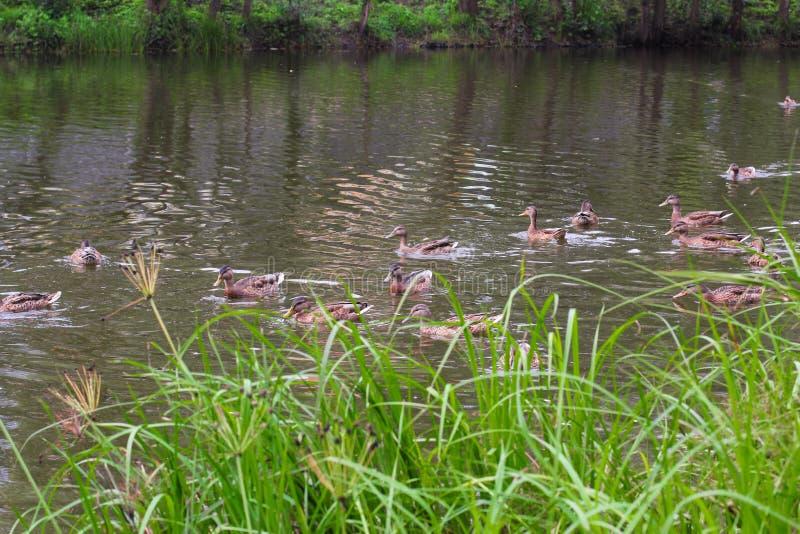 Vier Höckerschwanflöße im blauen Wasser des Seenickenschwarzen Ente entlein stockfotos