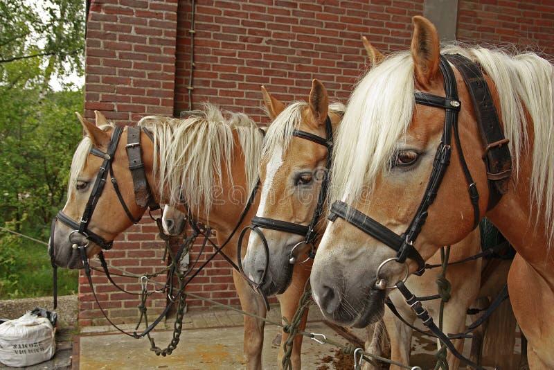 Vier haflinger Pferde stockbild