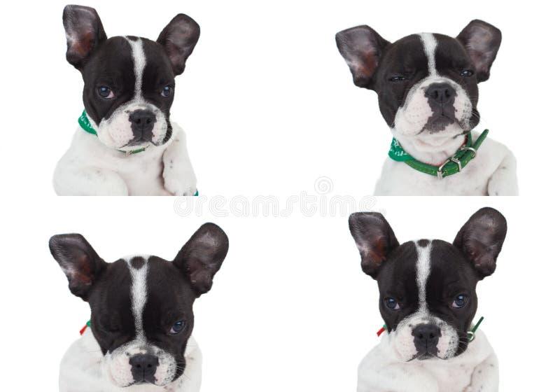 Vier Haltungen einer wirklich netten französischen Bulldogge stockfotografie