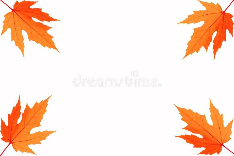Vier Herbstblätter Ahornholz lizenzfreie stockfotos