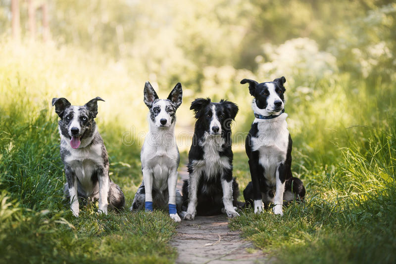 Vier Hunde border collie im Sommer lizenzfreies stockfoto