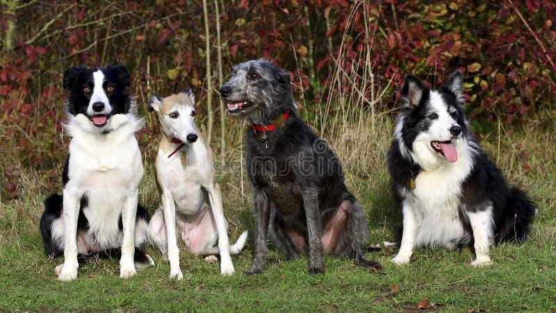 Vier Hunde (Collien whippet Lurcher) stockbilder