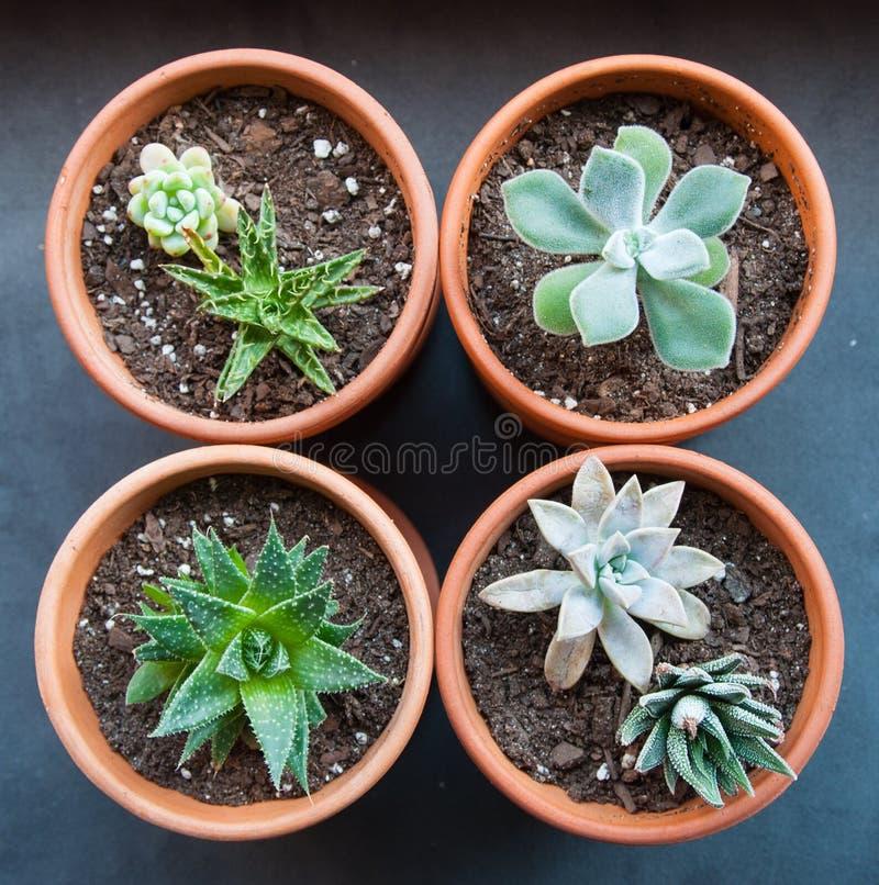 Vier ingemaakte succulents in een vierkant stock foto