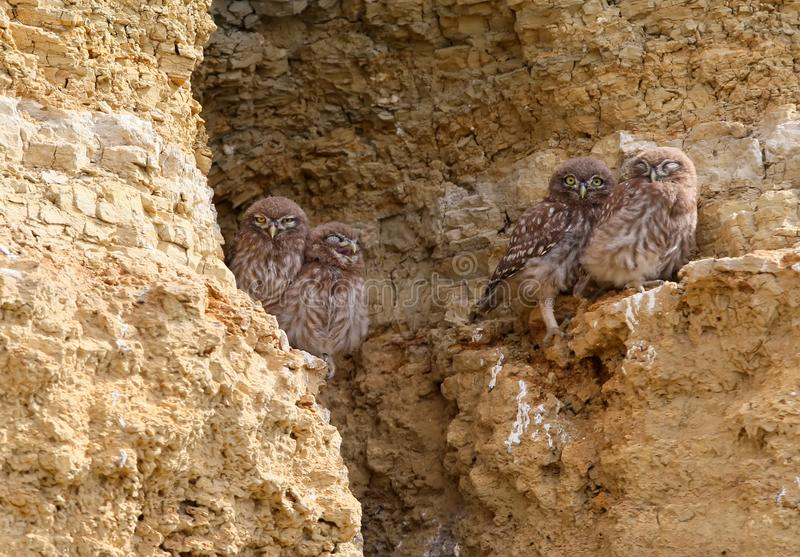 Vier junge Steinkäuze sitzt zusammen auf dem Felsen stockfotografie