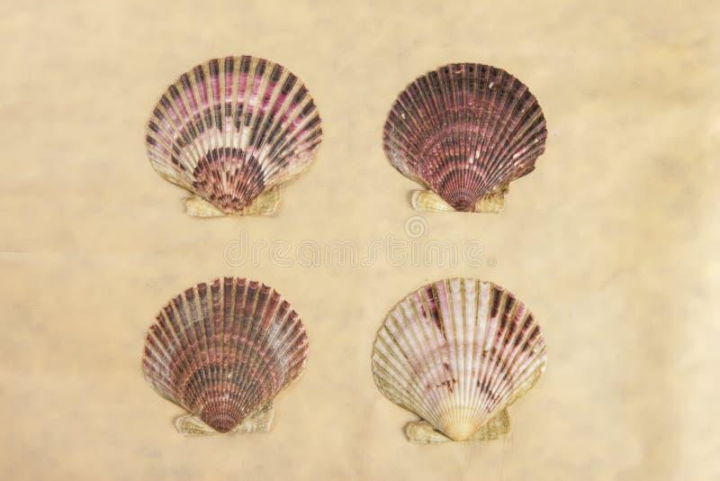 Vier kammosselshells stock afbeeldingen