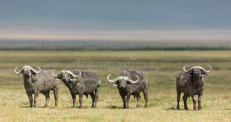 Vier Kap-Büffel-Stiere im Ngorongoro-Krater, Tansania lizenzfreie stockfotos