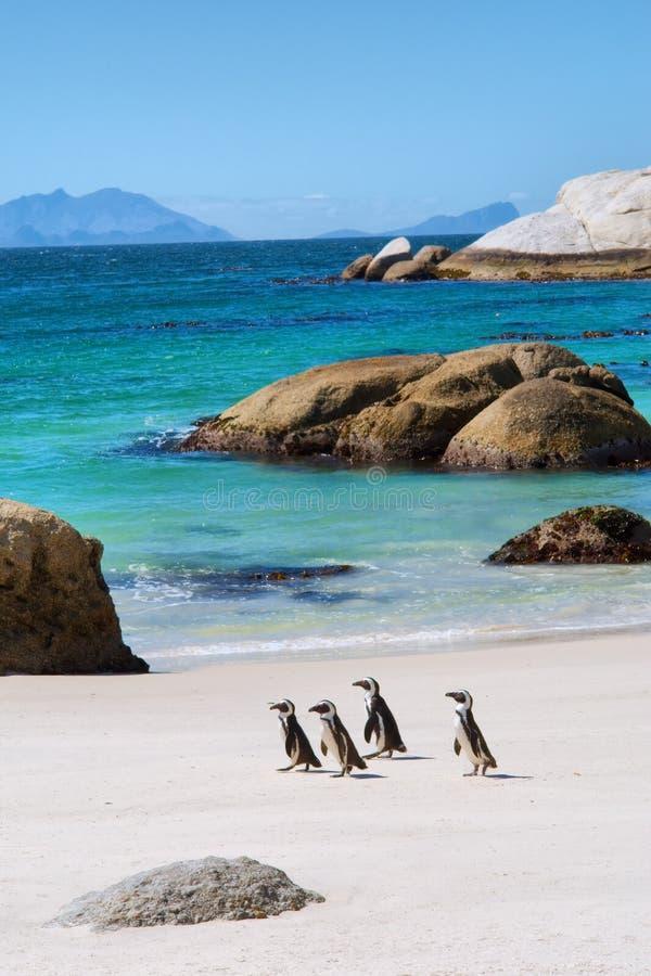 Vier kleine Pinguine auf schönem Strand stockfotos