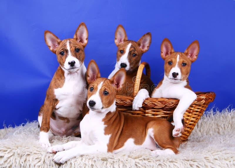 Vier kleine puppy Basenji stock foto