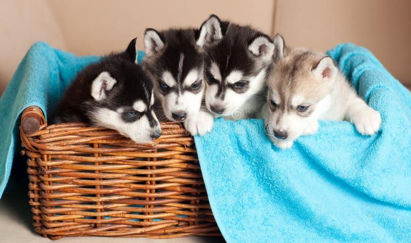 Vier Schor puppy stock afbeeldingen