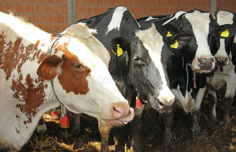Vier leuke koeien stock fotografie