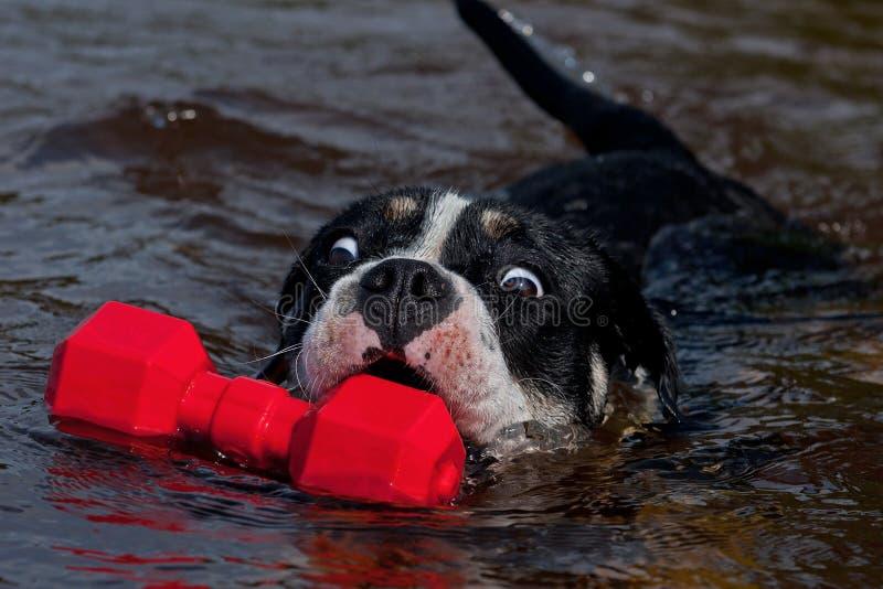 Vier maanden puppy van Oude Engelse Buldog zwemmen en spelen stock afbeeldingen