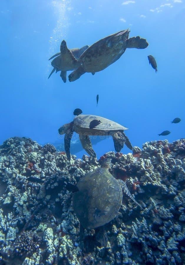 Vier Meeresschildkröten und Fische, die über Riff im tiefen Blau schwimmen lizenzfreie stockfotografie