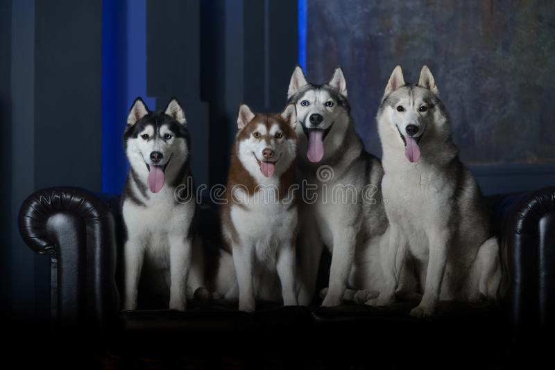 Vier modellen - Siberische Schor rassenhonden stock foto's