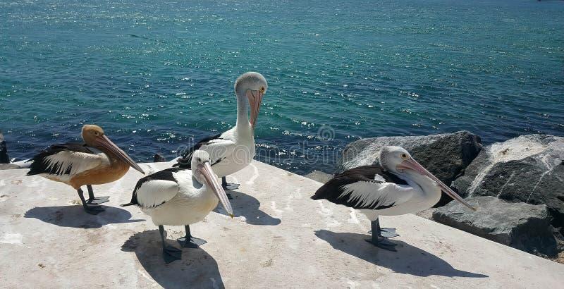 vier mooie pelikanen stock fotografie