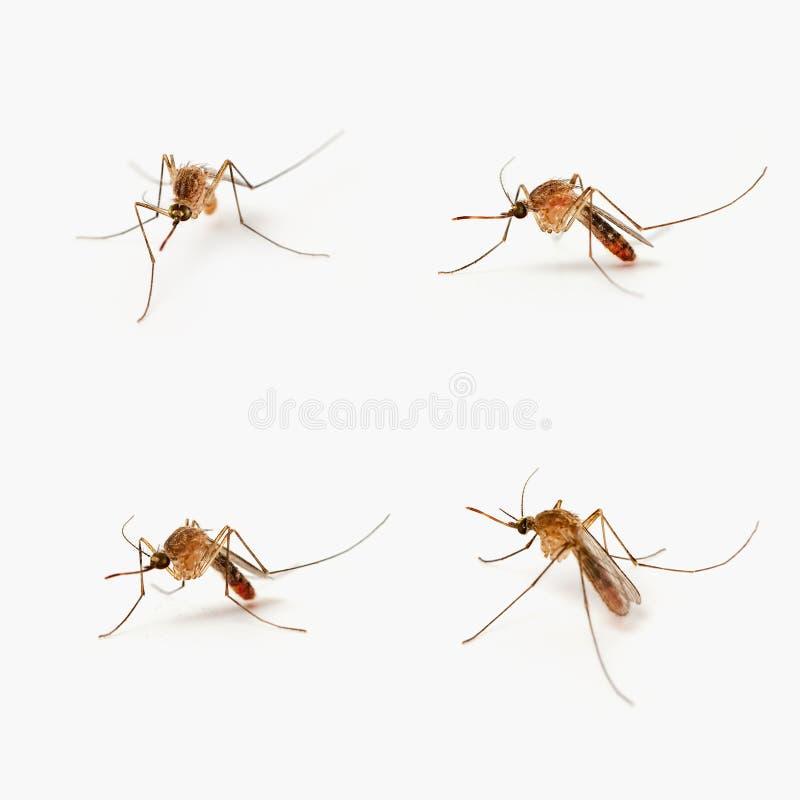 Vier muggen stock foto's