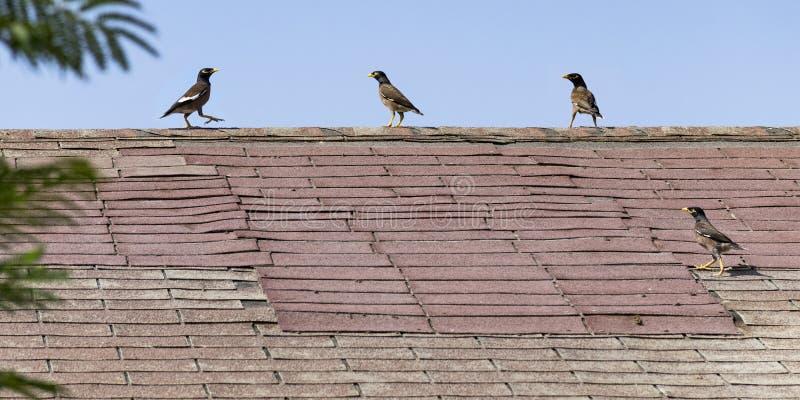 Vier Myna Birds op een Sjofel Oud Dak stock afbeeldingen