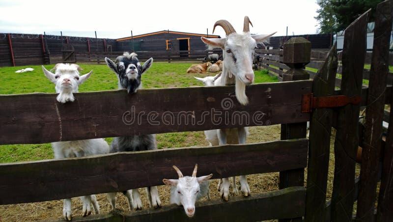 Vier neugierige Ziegen stockbilder