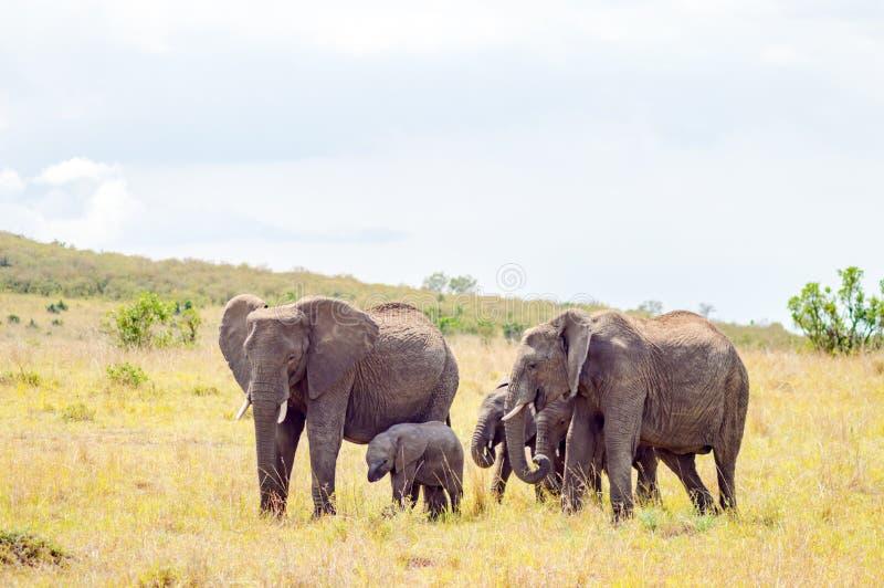 Vier olifanten die in de savanne van Masai Mara Park zich binnen verwijderen stock foto