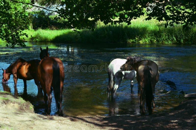 Vier paarden die rivierwater drinken royalty-vrije stock afbeeldingen