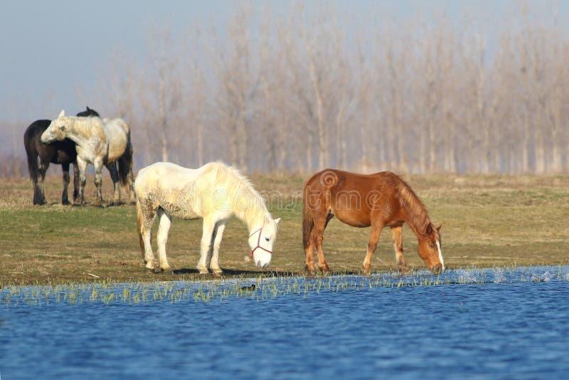 Vier paarden drinkt op de bar royalty-vrije stock foto