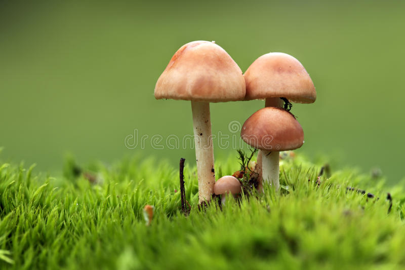 Vier paddestoelen in het mos stock afbeeldingen