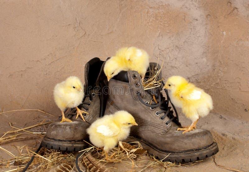 Vier Pasen kuikens die schoenen beklimmen stock foto's