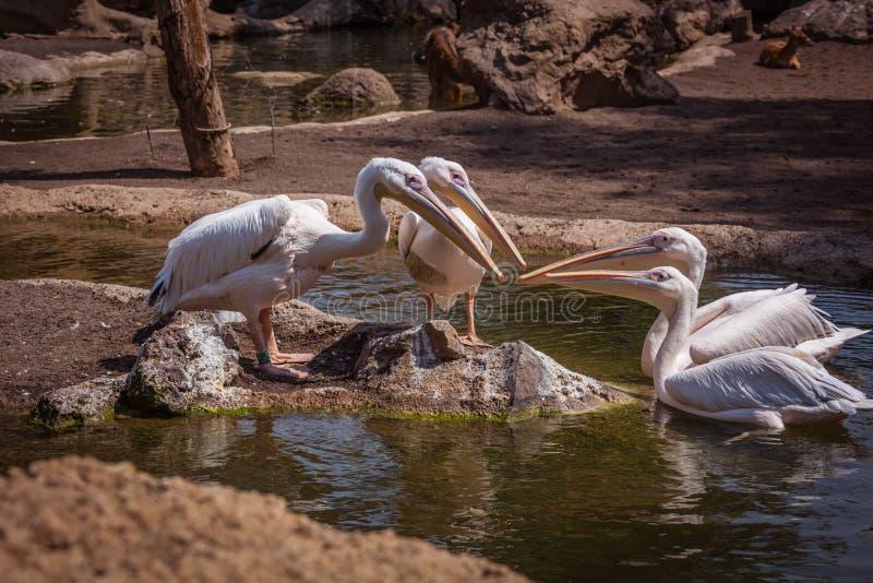 Vier pelikanen stock afbeelding