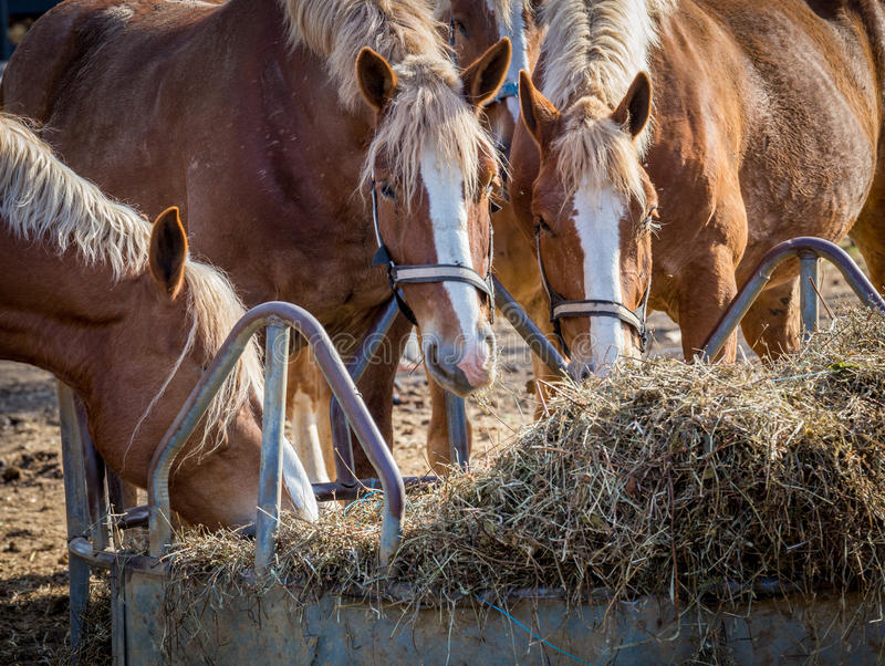 Vier Pferdefütterung stockbilder