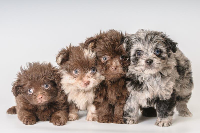 Vier puppy's in studio stock afbeeldingen