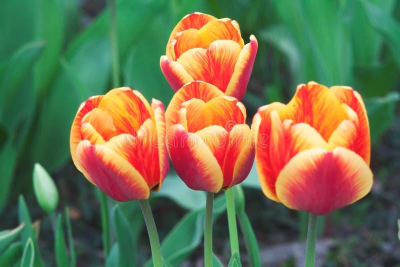 Vier rode en gele tulpen op een groene achtergrond royalty-vrije stock fotografie