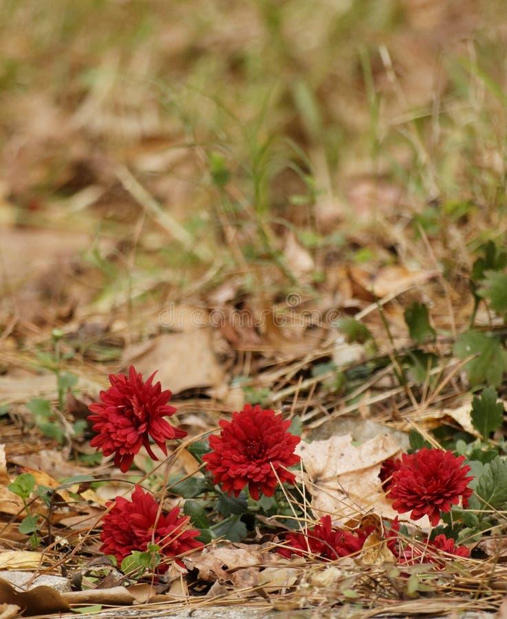 Vier rote Mama-Nahaufnahme stockfoto