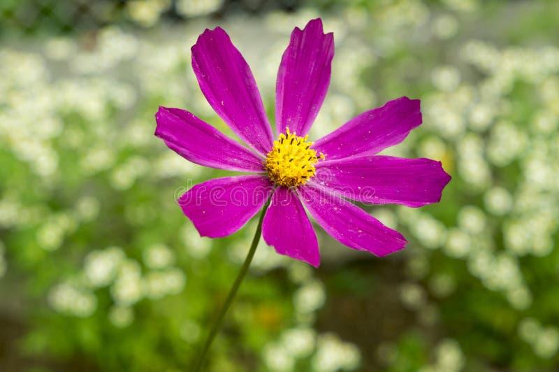 Vier roze bloemen Gerber royalty-vrije stock foto's