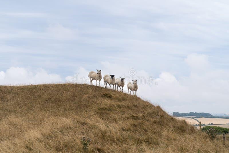 Vier schapen die op een heuvel in het Engelse landschap bij Meisjekasteel dichtbij Dorchester Dorset Groot-Brittannië bevinden de royalty-vrije stock fotografie