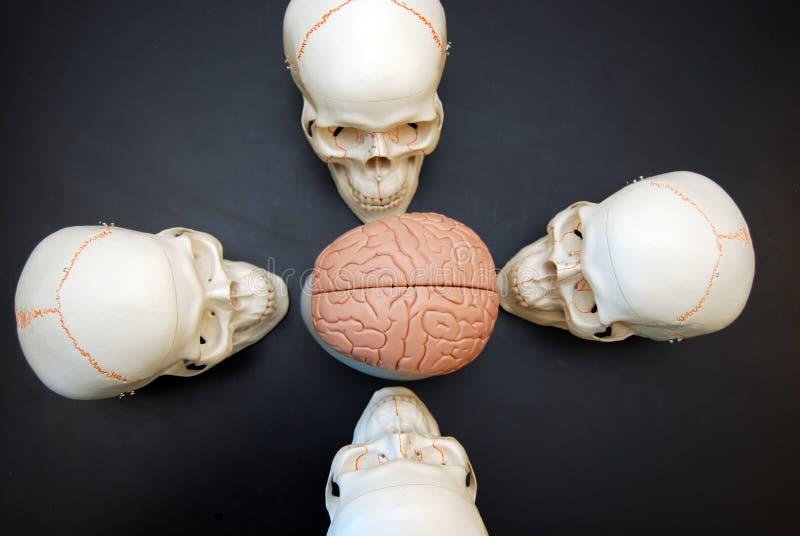 Vier Schedels die Hersenen bekijken stock foto