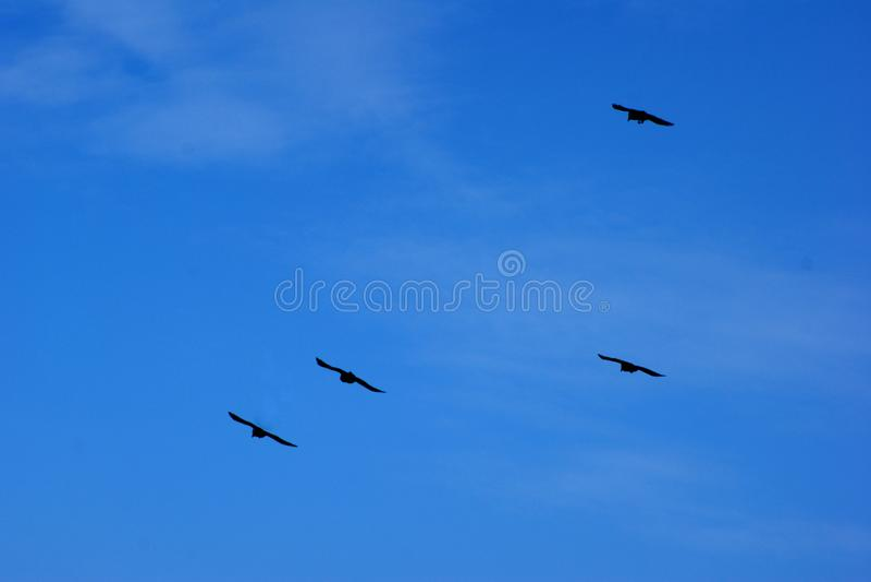 Vier schwarze Vögel steigen im blauen Himmel an stockbilder
