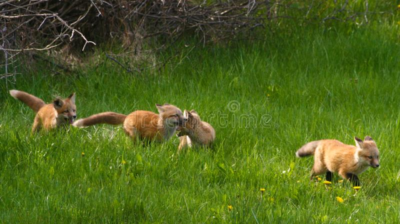Vier siblings van het Vosjong ras aan de open weide in Jackson Hole, Wyoming stock foto's