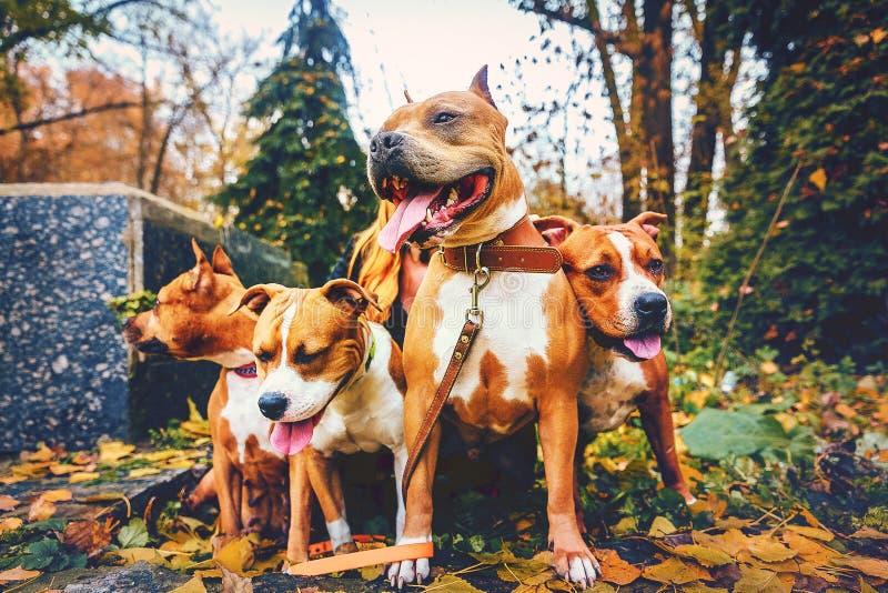 Vier Staffordshire-Terrier Hunde der vierköpfigen Familie, die in der Natur im Herbst sitzen stockfotografie