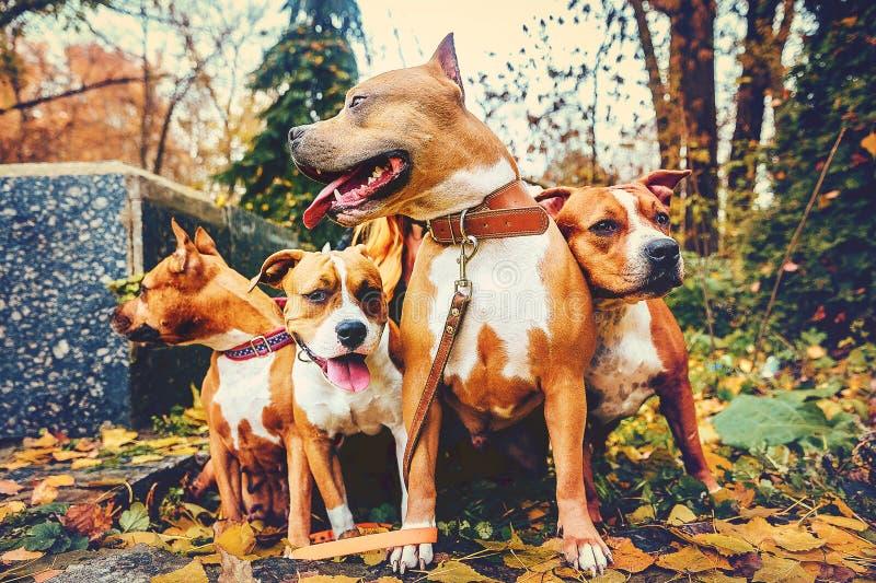Vier Staffordshire-Terrier Hunde der vierköpfigen Familie, die in der Natur im Herbst sitzen stockbild