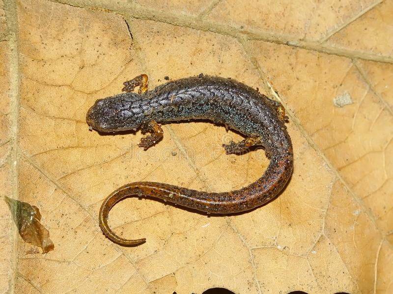 Vier-toed Salamander in Illinois stockfoto