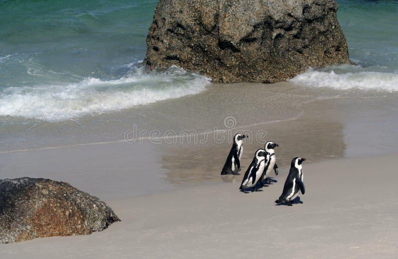 Vier Umhang-Pinguine lizenzfreie stockbilder