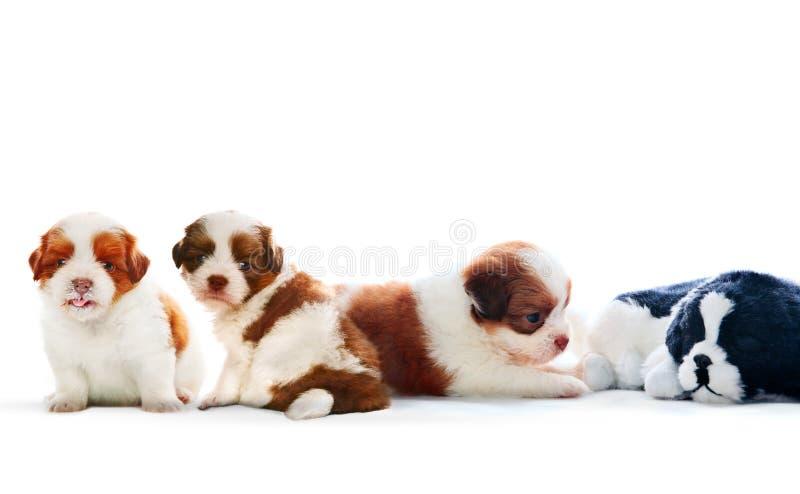 Vier van de puppyhond die van shihtzu met het ontspannen op witte backgr liggen stock foto